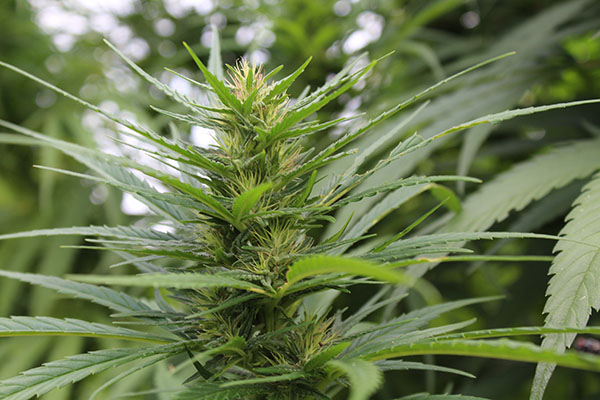 Female hemp flower